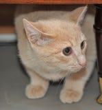 Small peach kitten hiding under a cabinet Stock Image