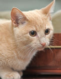 Small peach kitten Royalty Free Stock Image