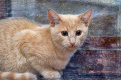 Small peach kitten Royalty Free Stock Photography