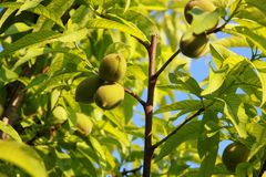 Small peaches. Small green peaches growing on tree Royalty Free Stock Images