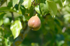 Small pear growing on tree Royalty Free Stock Images
