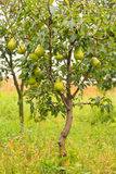 Small pear tree filled with fruit  in the garden Royalty Free Stock Image