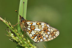 Small Pearl-border Fritillary Butterfly Royalty Free Stock Photo