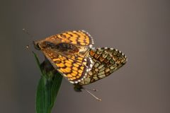 Small Pearl-bordered Fritillary Stock Photo