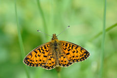 Small pearl-bordered fritillary Stock Photography