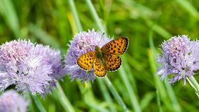 Beautiful butterfly feeding on flower royalty free stock images