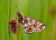 Small Pearl Bordered Fritillary butterfly royalty free stock photo