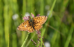 Small Pearl-bordered Fritillary butterfly. Small Pearl-bordered Fritillary in boggy grassland habitat, Renfrewshire, Scotland Stock Photography