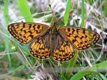 Small pearl bordered fritillary. In grass Stock Image