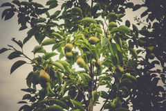 Small Pears on Branch Royalty Free Stock Images