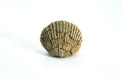 Small pecten shell, fossil, white background Royalty Free Stock Image
