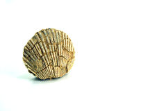 Small pecten shell, fossil, white background Royalty Free Stock Photos