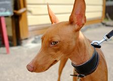 Rare breed Sphinx Dog seen on its owner`s lead, looking at the photographer in an outside location. Stock Photos
