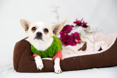 Small pedigree dogs Royalty Free Stock Photo