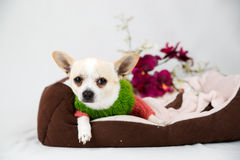 Small pedigree dogs Stock Photography