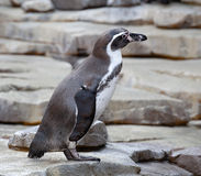 Small penguin Royalty Free Stock Image