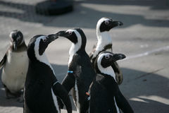 Small penguins. Standing and staring Royalty Free Stock Photography