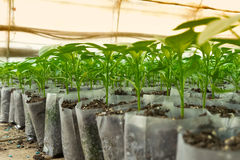 Small pepper plants in a greenhouse for transplanting Stock Image