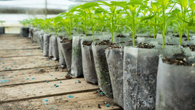 Small pepper plants in a greenhouse for transplanting Royalty Free Stock Image