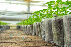 Small pepper plants in a greenhouse for transplanting Royalty Free Stock Images