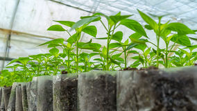 Small pepper plants in a greenhouse for transplanting Stock Photos