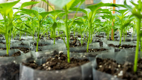 Small pepper plants in a greenhouse for transplanting Royalty Free Stock Photos