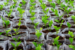 Small pepper plants in a greenhouse for transplanting Stock Photography