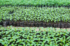 Small pepper plants in a greenhouse for transplanting Stock Images