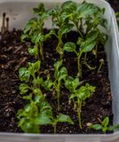 Small pepper sprouts in the soil in the pot stock photography
