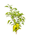 Small pepper tree Stock Photography