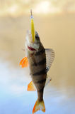 Small perch Royalty Free Stock Image