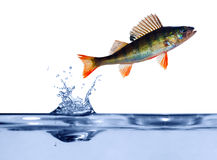Small perch above blue water Royalty Free Stock Images