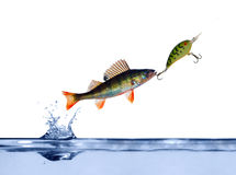 Small perch on hook Royalty Free Stock Photo