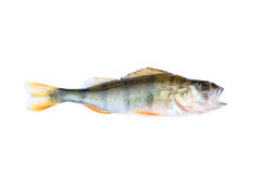 Small perch isolated Stock Photography