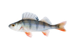 Small perch isolated Stock Images