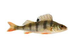 Small perch isolated Royalty Free Stock Image