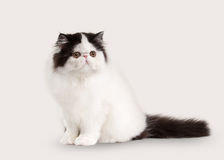 Small persian kitten on white background Royalty Free Stock Image