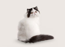Small persian kitten on white background Royalty Free Stock Photos