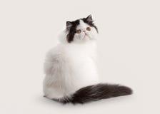 Small persian kitten on white background Royalty Free Stock Photos
