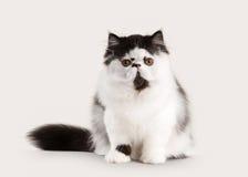 Small persian kitten on white background Stock Photos