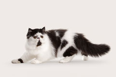 Small persian kitten on white background Royalty Free Stock Photo
