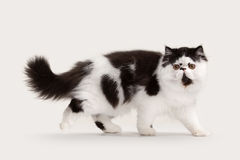 Small persian kitten on white background Stock Photography