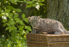 Small Persian leopard Royalty Free Stock Images