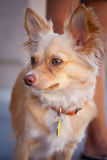 Small Pet Chihuahua Royalty Free Stock Photography