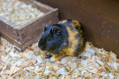 Small pet guinea pig in a cage Stock Photography