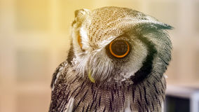 Small pet owl with big round eyes Royalty Free Stock Images