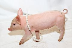 Piglet With Pearls. Small Pet Piglet With Pearls Necklace Fun stock image