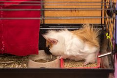 Small pet is waiting for meal. Guinea pig pet is waiting for something for eat Royalty Free Stock Images