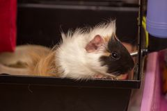 Small pet is waiting for meal. Guinea pig pet is waiting for something to Royalty Free Stock Image