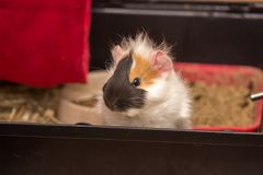 Small pet is waiting for meal. Guinea pig pet is waiting for something to Stock Photo